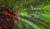 The top of a palm tree with brown trunk and green leaves seen from below