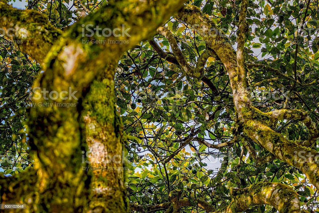 Crown Of An Avocado Tree stock photo