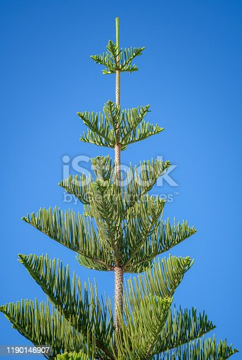 1145102719 istock photo Crown of Araucaria heterophylla tree in sunny day 1190146907