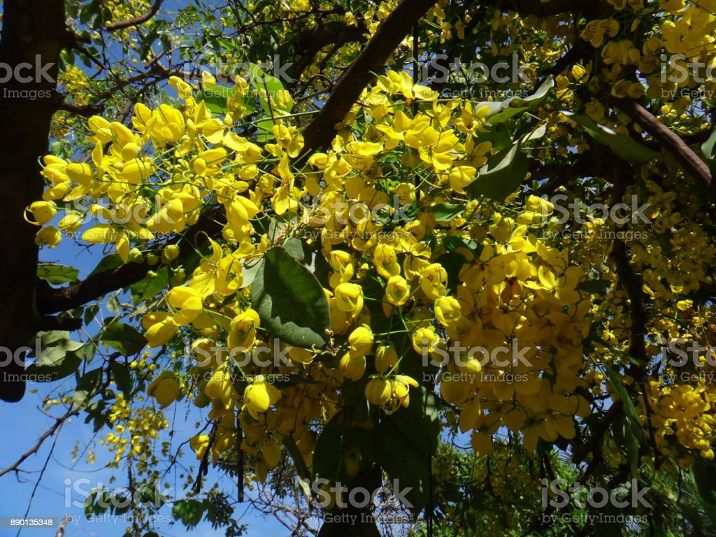 Crown Of Gold Tree Yellow Flowers Stock Photo More Pictures Of