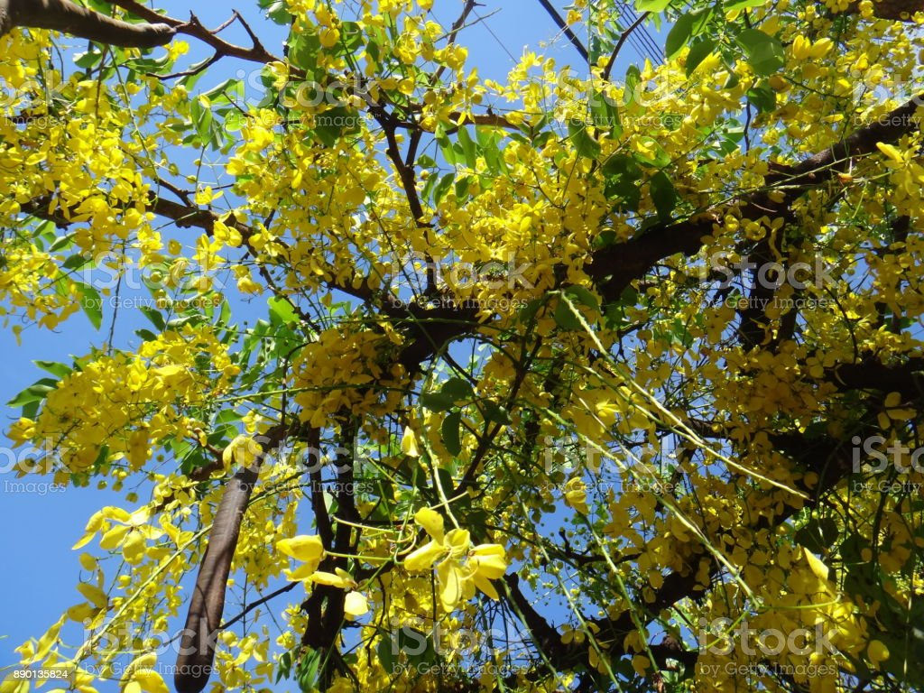 Crown Of Gold Tree Yellow Flowers Stock Photo Istock