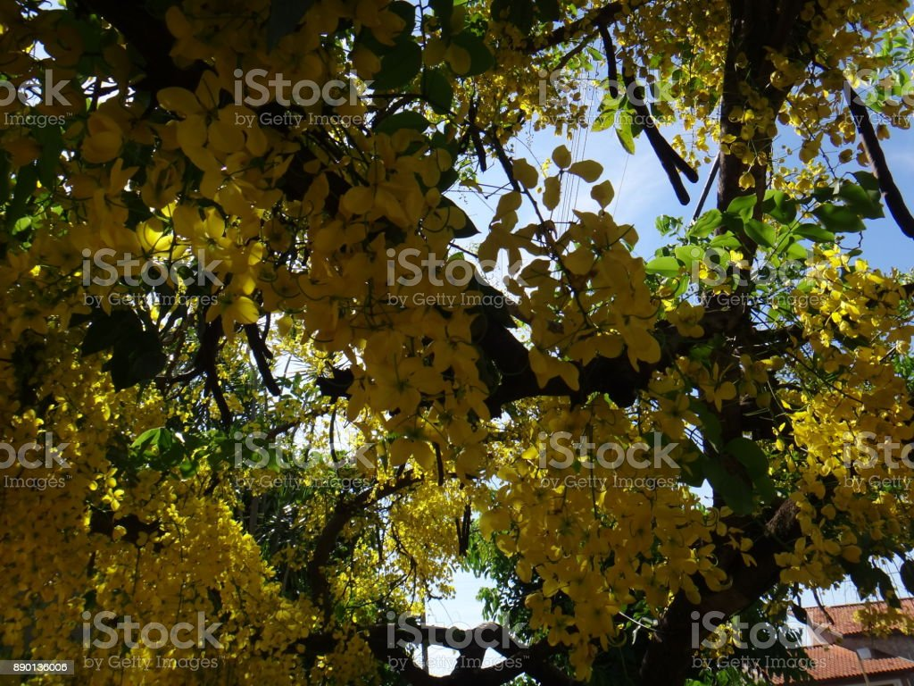 Crown of gold tree - Yellow flowers stock photo