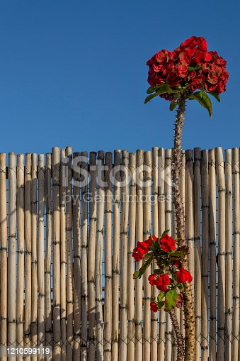 Crown of thorns flower with bamboo fence and blue sky Oaxaca Mexico