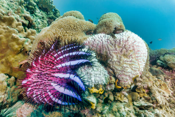 Crown of Thorns Starfish (Acanthaster planci) causing coral bleaching on underwater Bubble Anemone coral stock photo