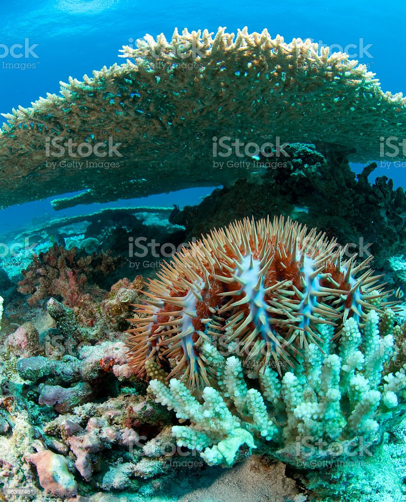 crown of thorns under plate coral royalty-free stock photo