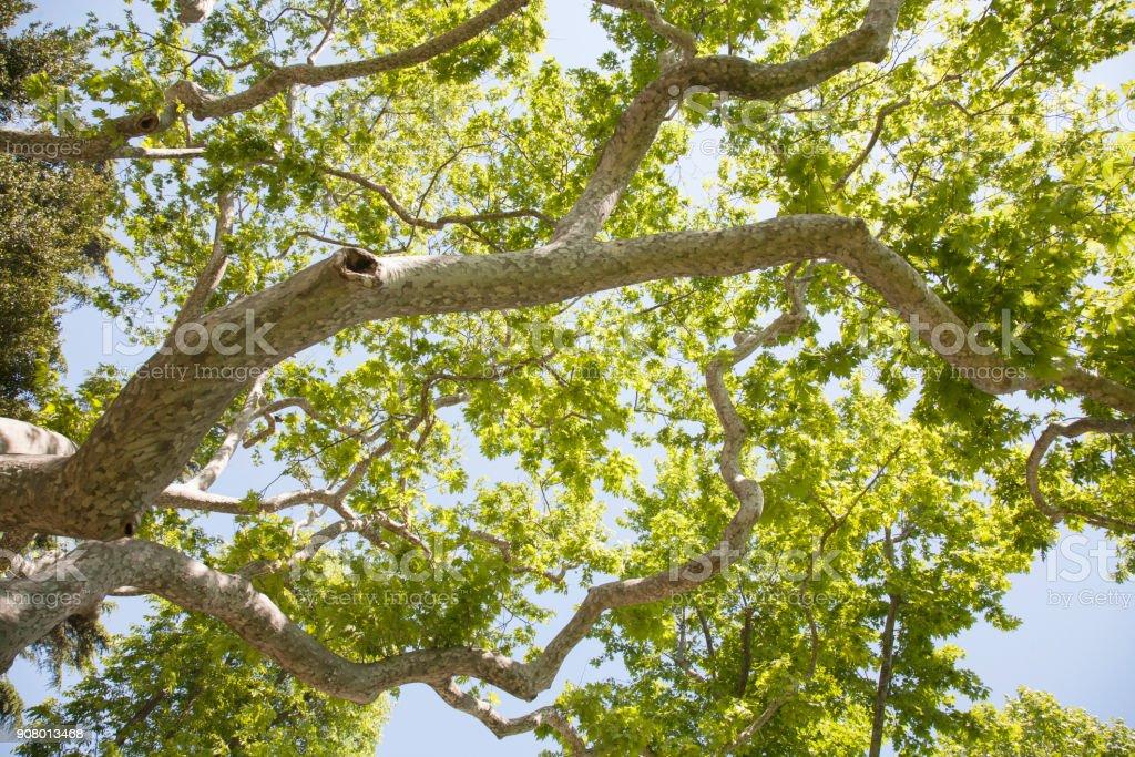 Krone von Bäumen, Ansicht von unten. Laub – Foto