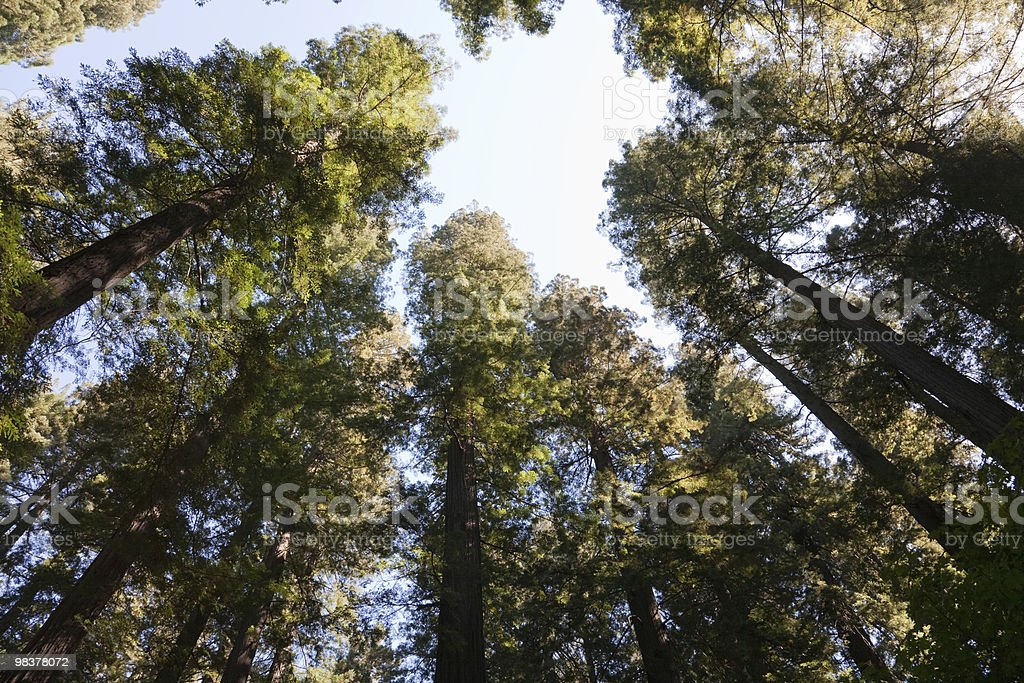 Crown of trees royalty-free stock photo