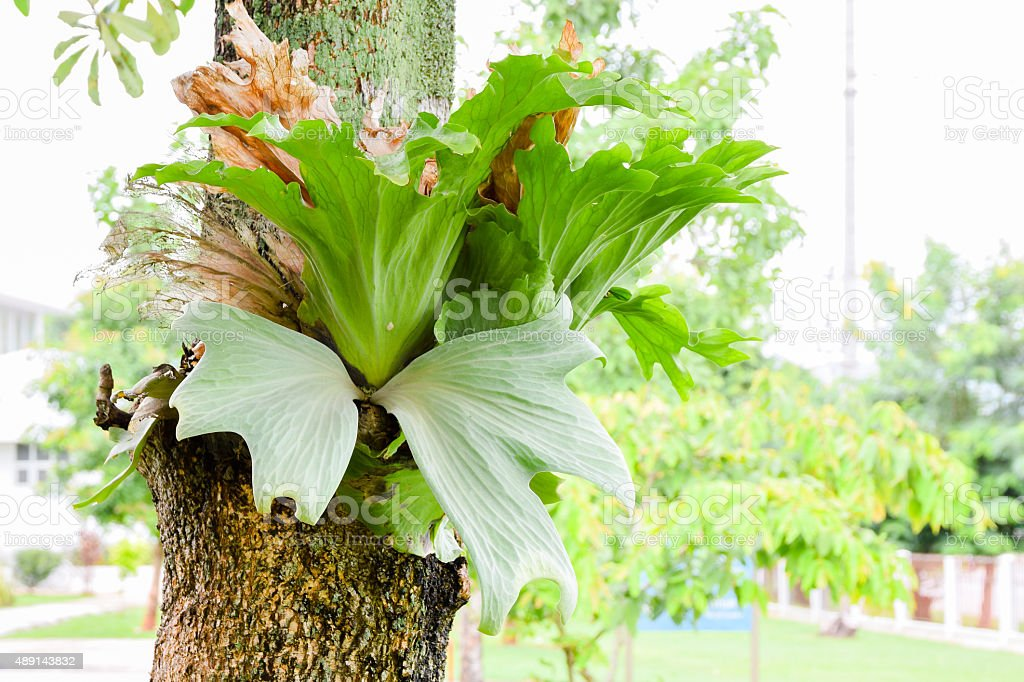 Crown Staghorn, Indian Staghorn Fern on tree stock photo
