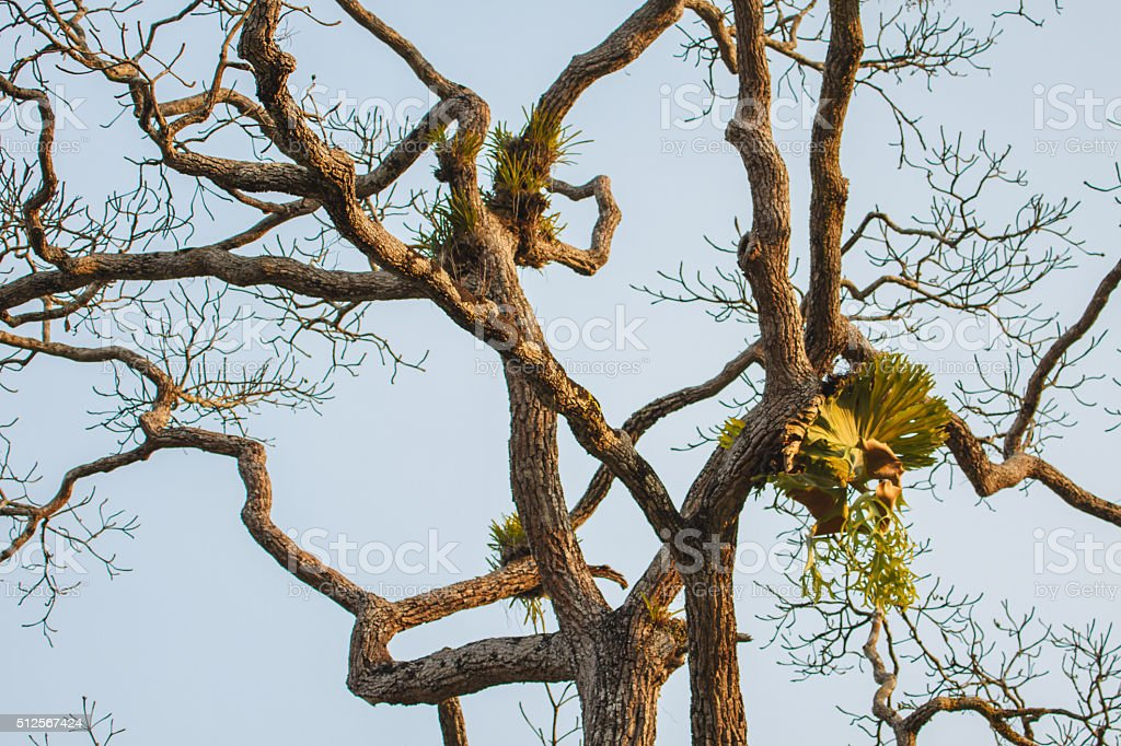 Crown Staghorn on tree stock photo