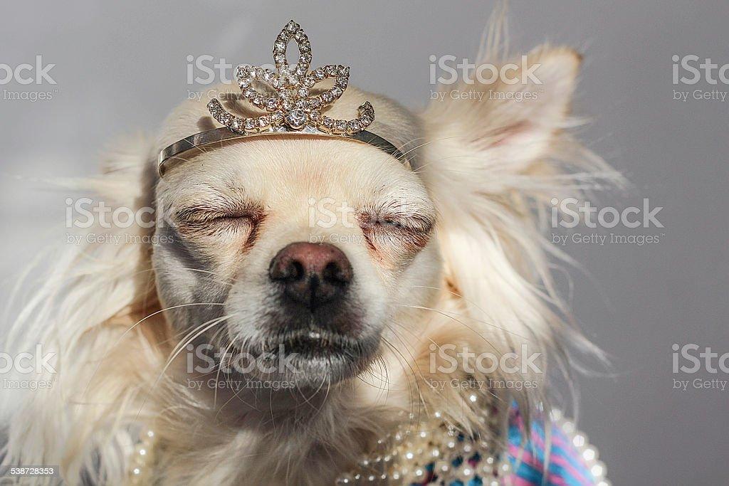 Crowned chihuahua sunbathing stock photo
