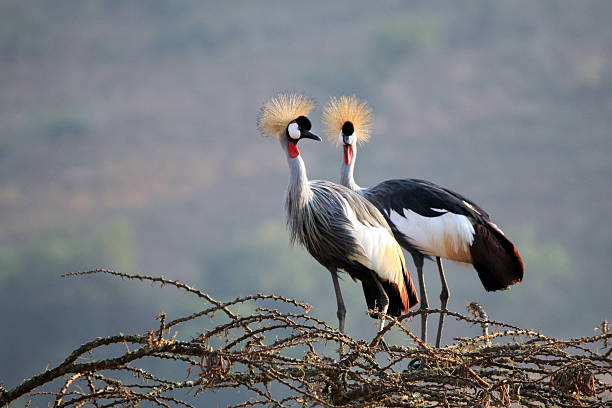crowned crane couple - crane bird stock pictures, royalty-free photos & images