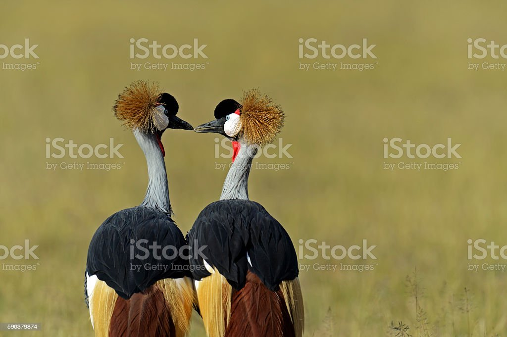 Crowned Crane in the savannah stock photo