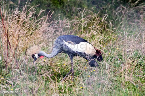 crowned crane in the grass