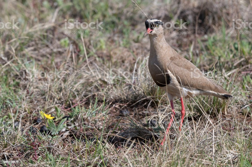 Crowned lapwing in veldt - Royalty-free Africa Stock Photo