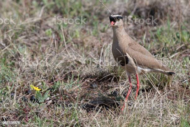 Crowned Lapwing In Veldt Stock Photo - Download Image Now