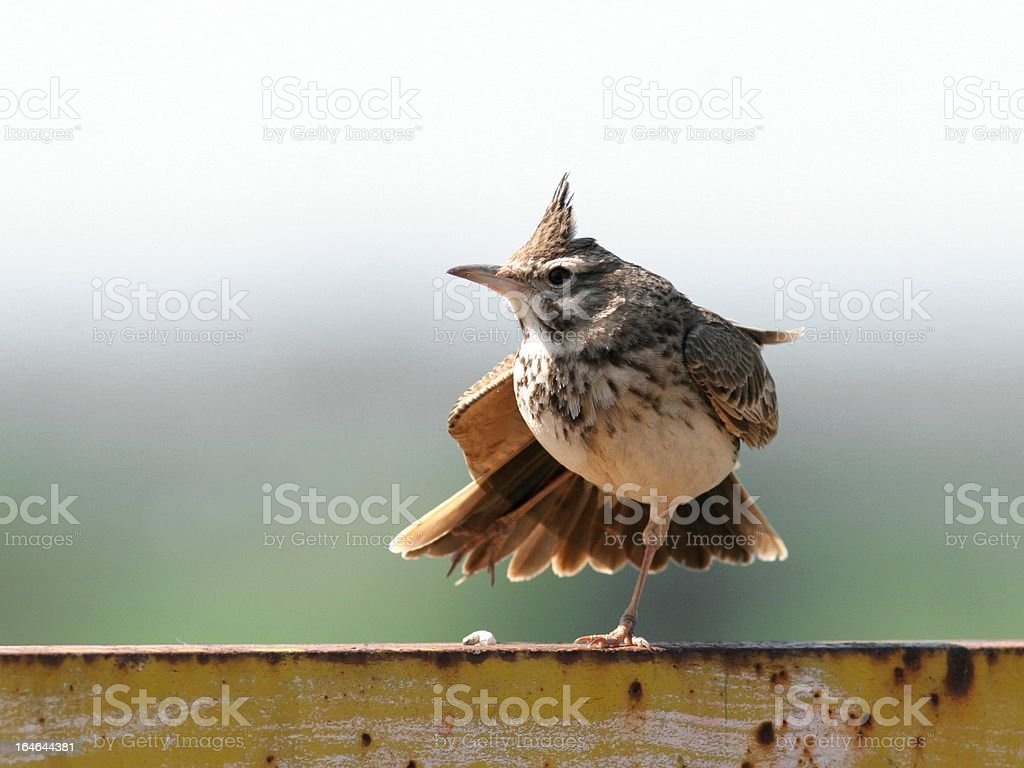 Crowned lark stock photo