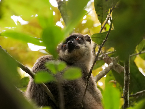 Crowned Lemur Stock Photo - Download Image Now - iStock