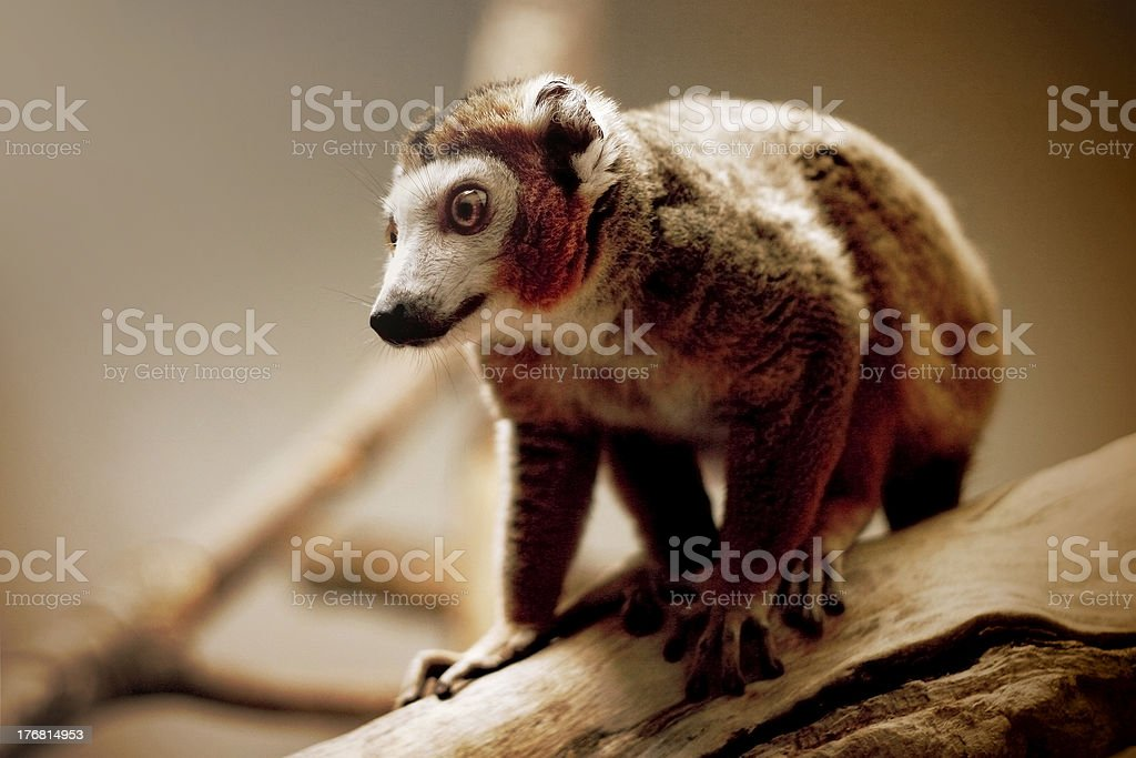 Crowned Lemur royalty-free stock photo