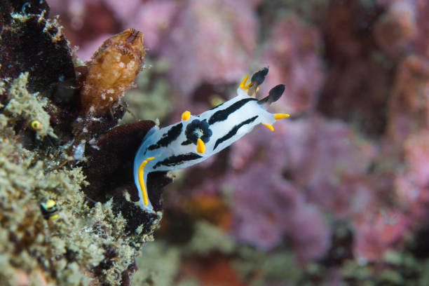 A Crowned nudibranch (Polycera capensis) stock photo