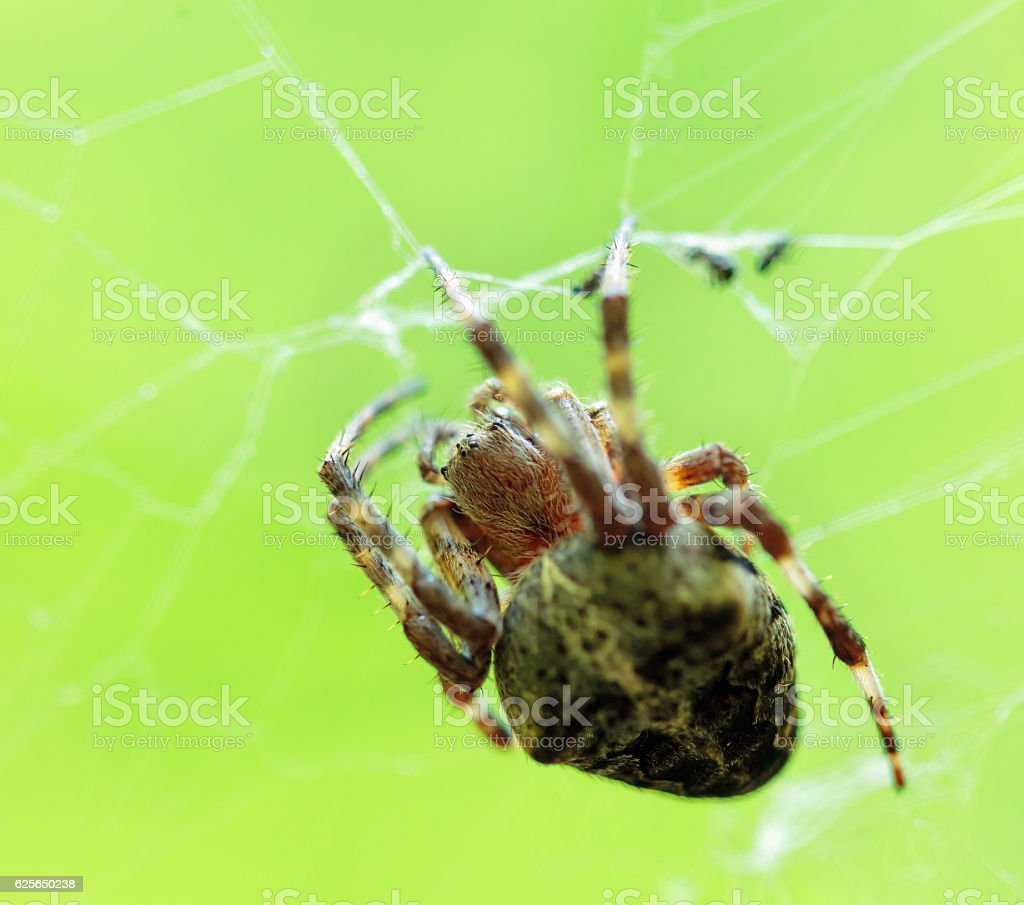 Crowned orb weaver on its web stock photo
