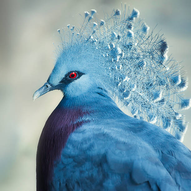 Crowned pigeon stock photo