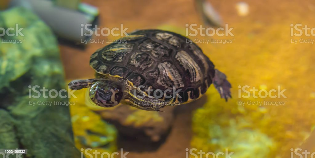 crowned river turtle swimming in the water animal water reptile pet...