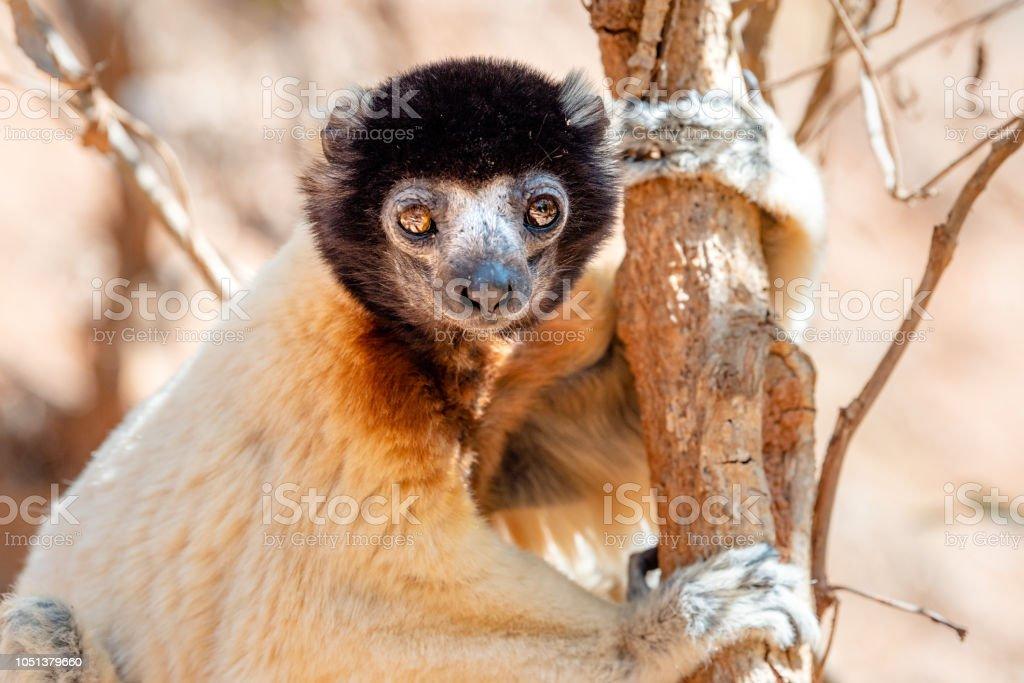 Crowned sifaka Lemur Madagascar stock photo