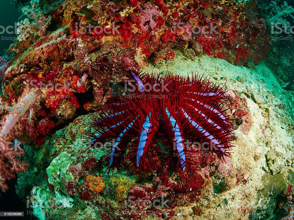 Crown-of-thorns seastar stock photo