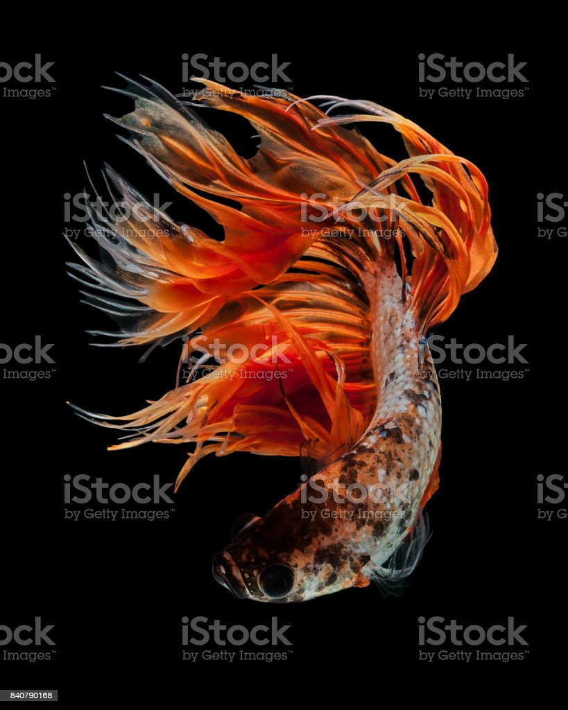Crowntails stock photo