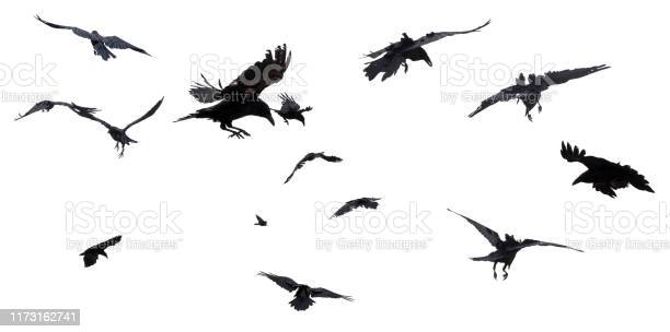 Photo of Crows and Ravens