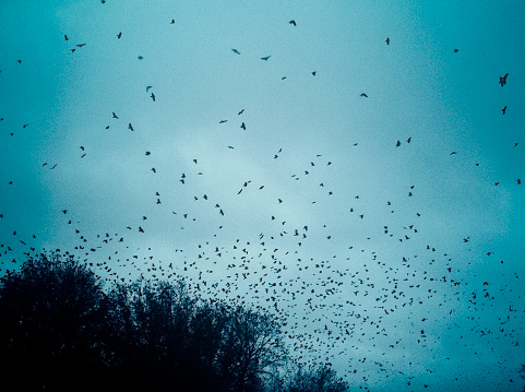 Crows Come To Roost In Treetops On A Stormy Evening