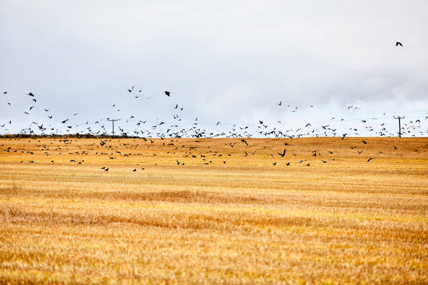 Crows fly over a field where the hay has just been harvested. stock photo