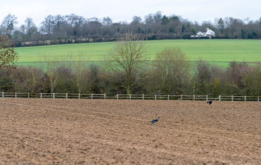 Crows flying away over a ploughed field.