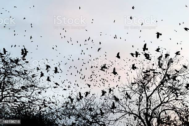 Crows gathering at dusk in bare winter twilight trees picture id163198215?b=1&k=6&m=163198215&s=612x612&h=uc1 hwonjoam 3cjbaks w vnrl c5ax1eis7tf2gyq=