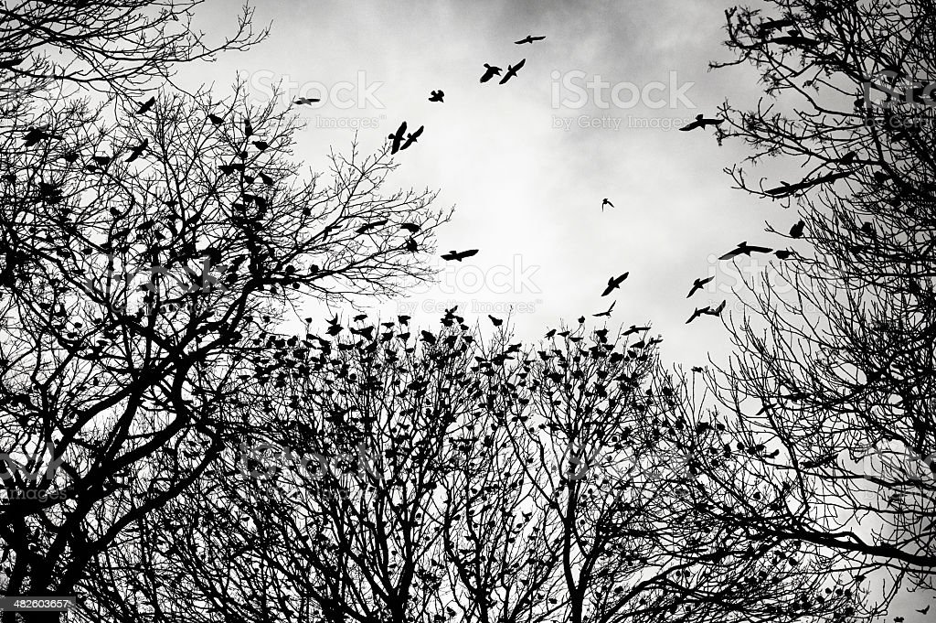 crows gathering at dusk in bare winter twilight trees stock photo