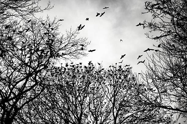 crows veranstaltung in der dämmerung in leere winter bäume in der dämmerung - saatkrähe stock-fotos und bilder