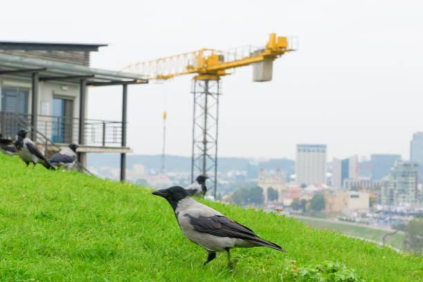 crows in the city – zdjęcie