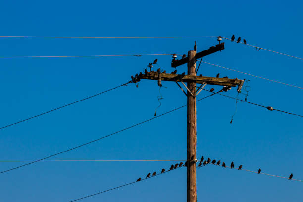 Crows on a power line pole stock photo