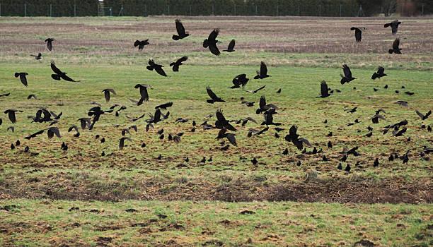 crows auf feld - saatkrähe stock-fotos und bilder