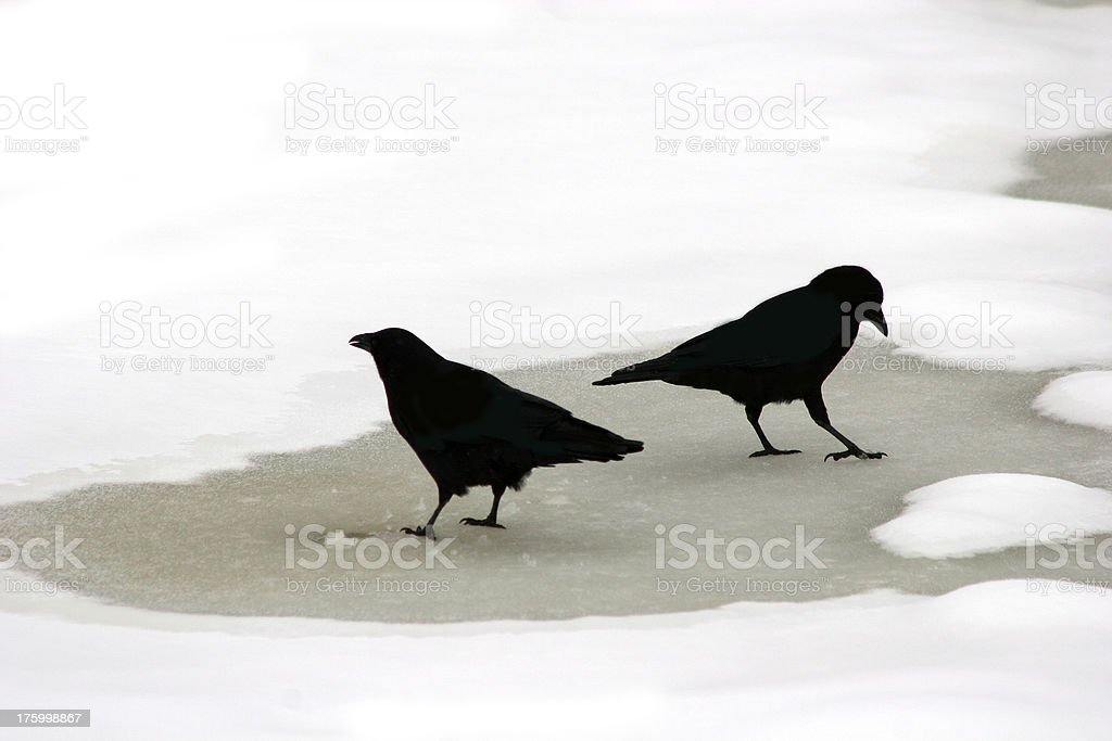 Crows on ice royalty-free stock photo