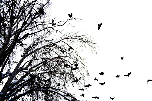 crows on tree branch