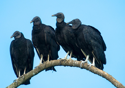 Crows perched on a branch