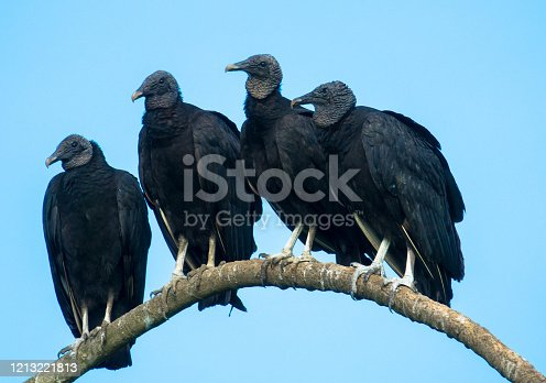 Crows perched on a branch against blue sky