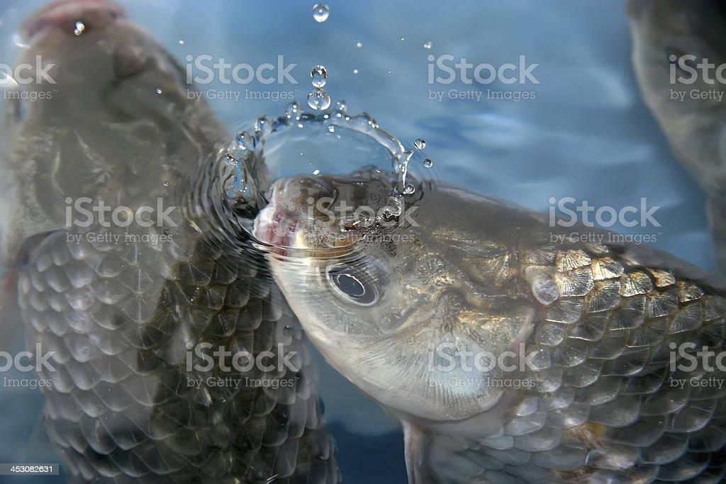 crucian carp swimming in a pool royalty-free stock photo