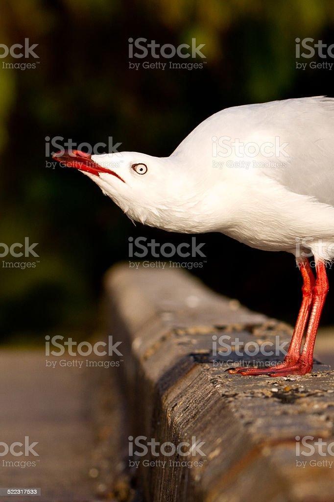 Cruella de'Seagull stock photo