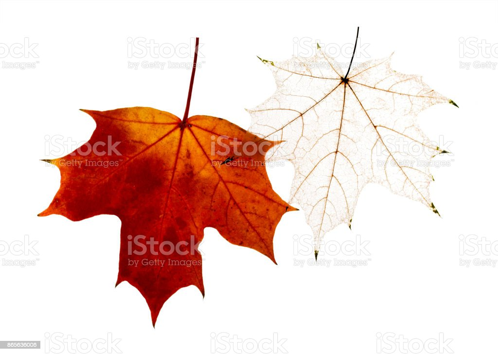 crumbling tracery and gold maple leaf delicate transparent template shapes on a white isolated background stock photo