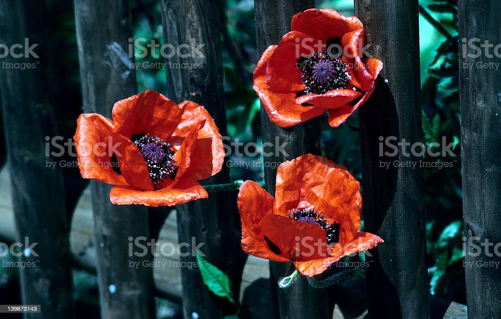 Crumpled Poppy royalty-free stock photo