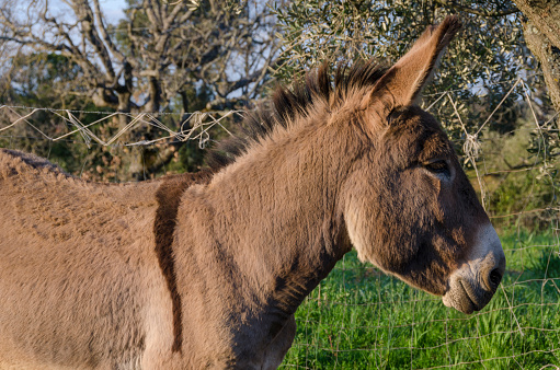 Crusader donkey from Amiata on a meadow in a tuscany farm