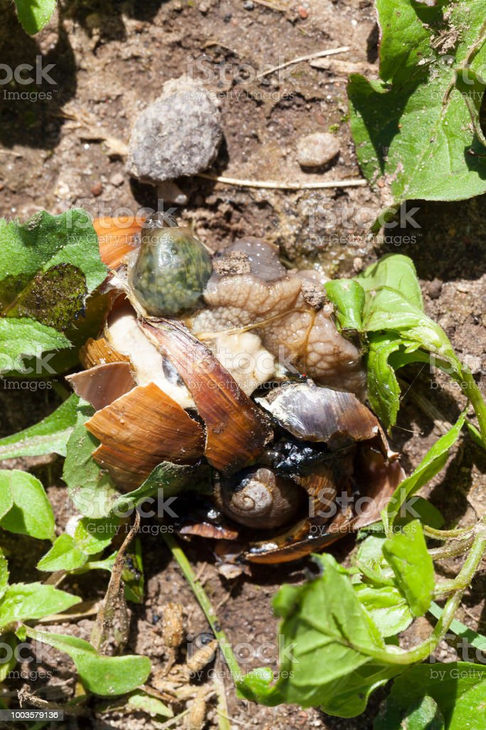 crushed grape snail stock photo