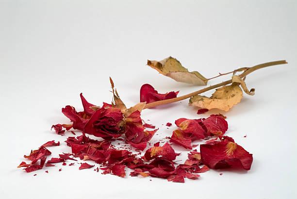 Crushed Rose stock photo